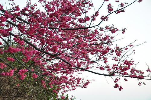 清水廟前櫻花