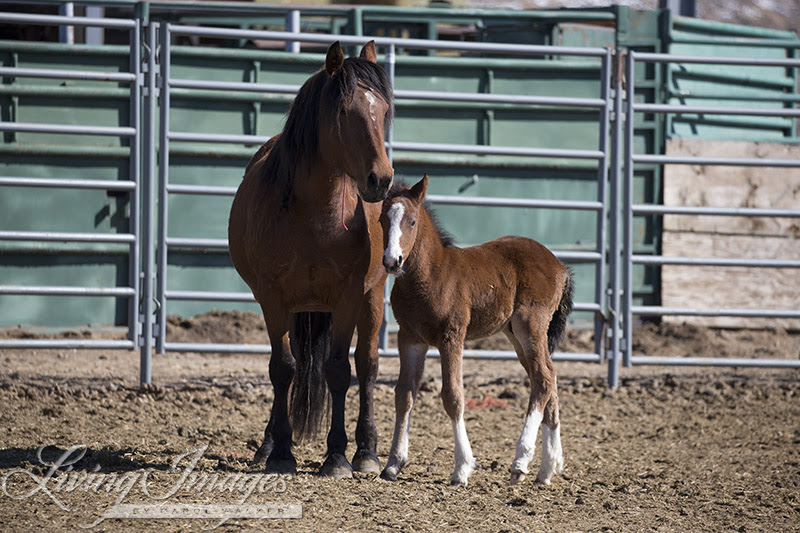 The first foal born, with its mother in the Mare-Foal pen