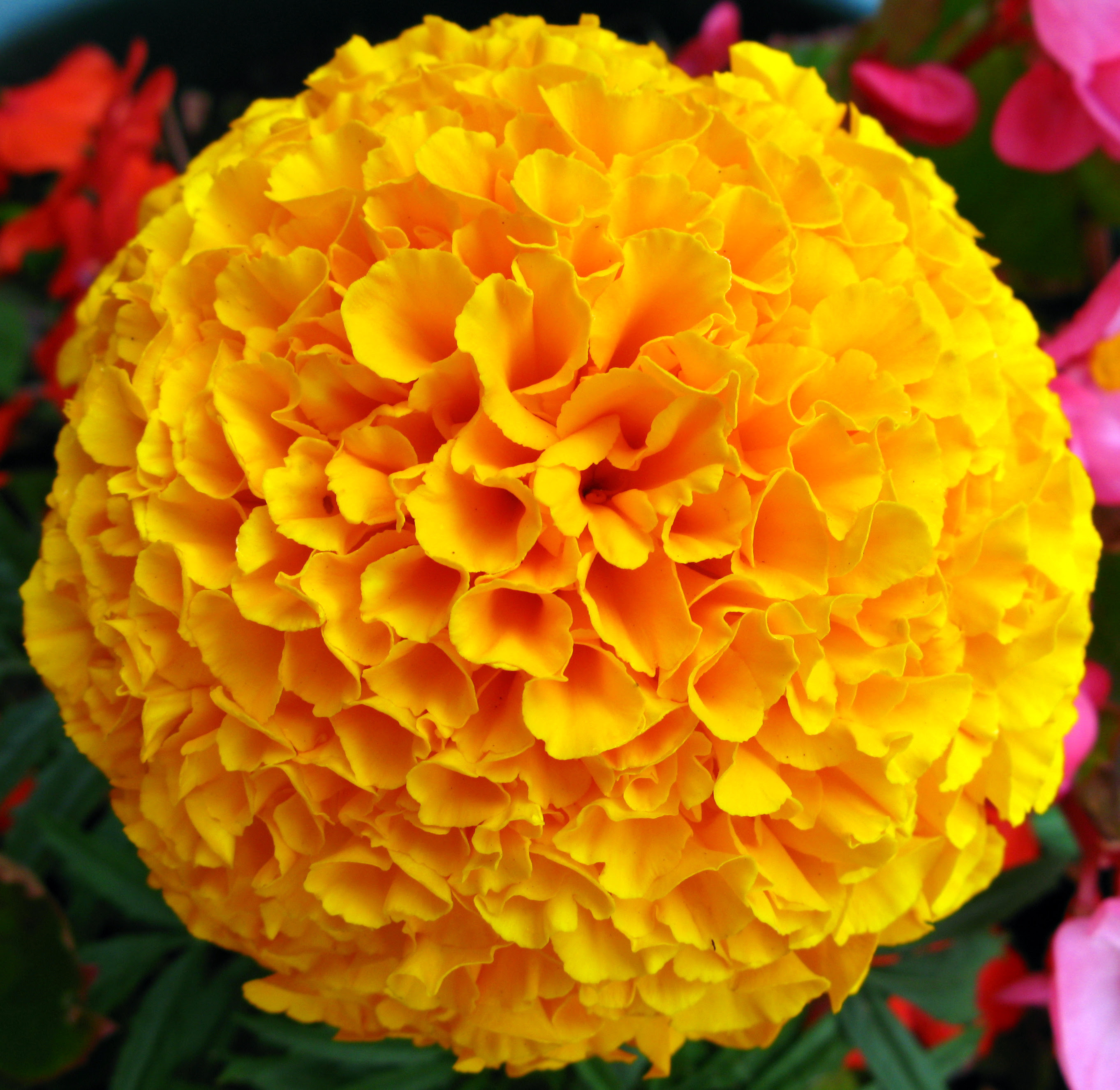 Yellow French Marigold Flower