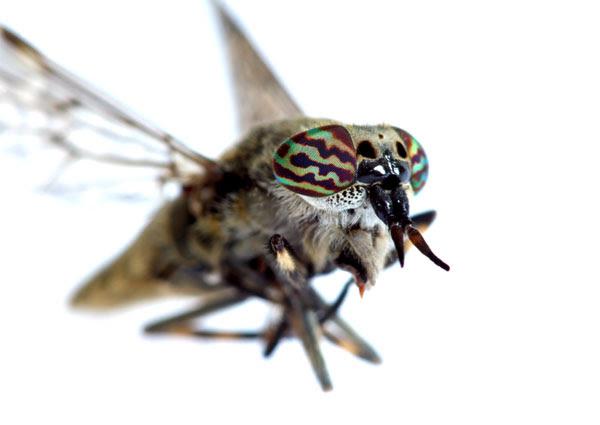 03-4089 Macro Closeup of a Cleg-Fly Haematopota pluvialis Showing Eye Colour
