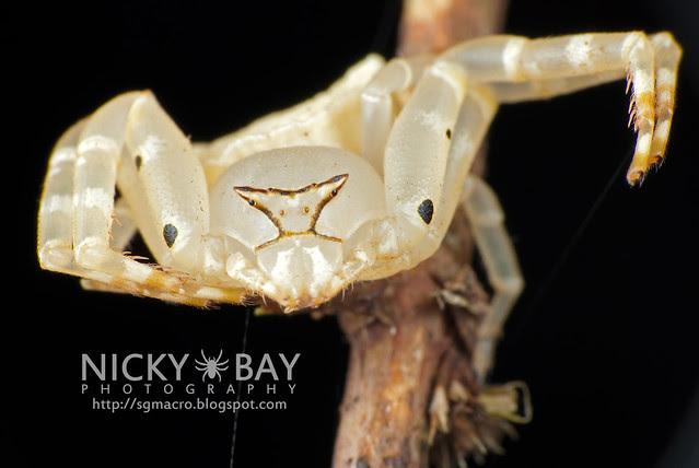 Crab Spider (Thomisidae) - i02894