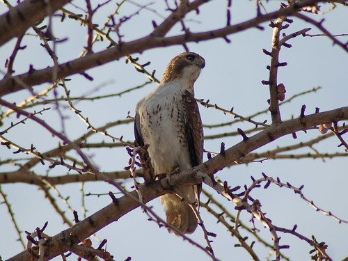 Red-Tailed Hawk in the Housing Project