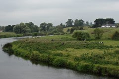 Cows on the River Boyne