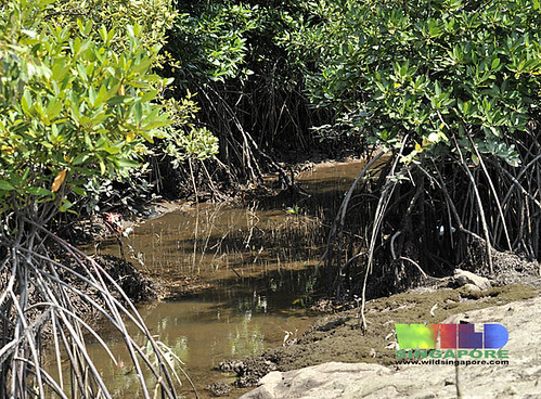 Mangrove stream