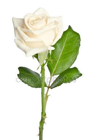 Una Rosa Blanca Eje21