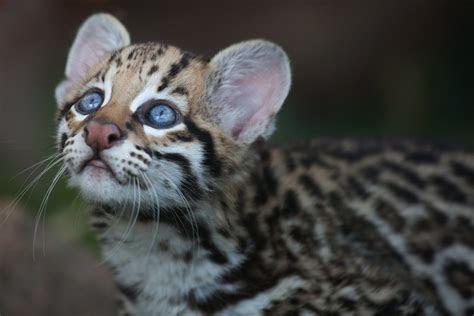 Ocelot   Feline Facts and Information