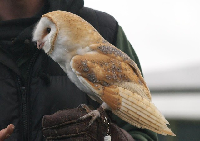 DSC_5413 Barn Owl