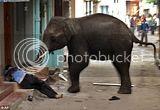 Gajah Ngamuk di Rumahku