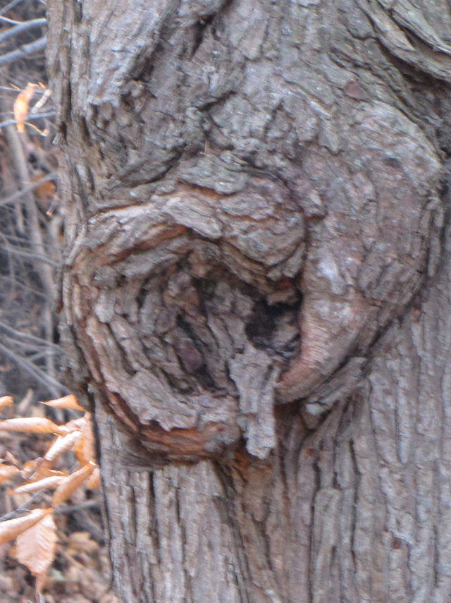 the letter Q as seen in a burl