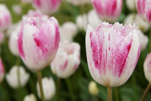 Keukenhof Tulips