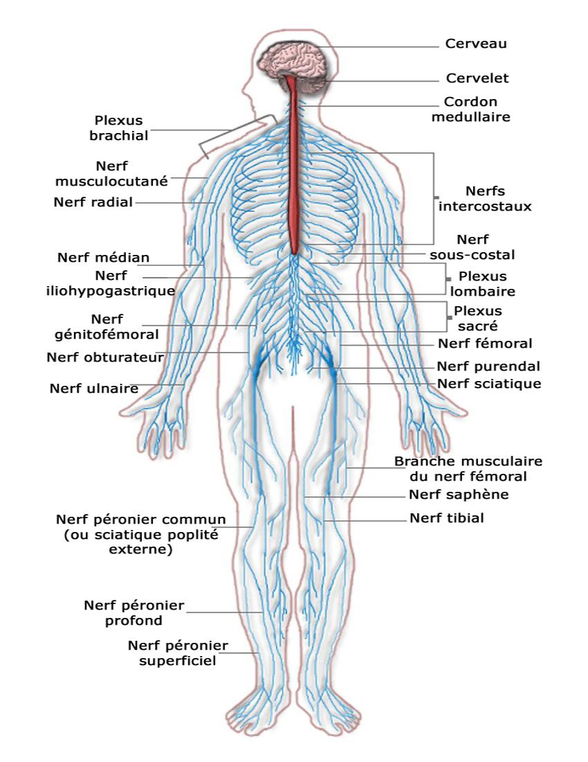 Nervous_system_diagram_french