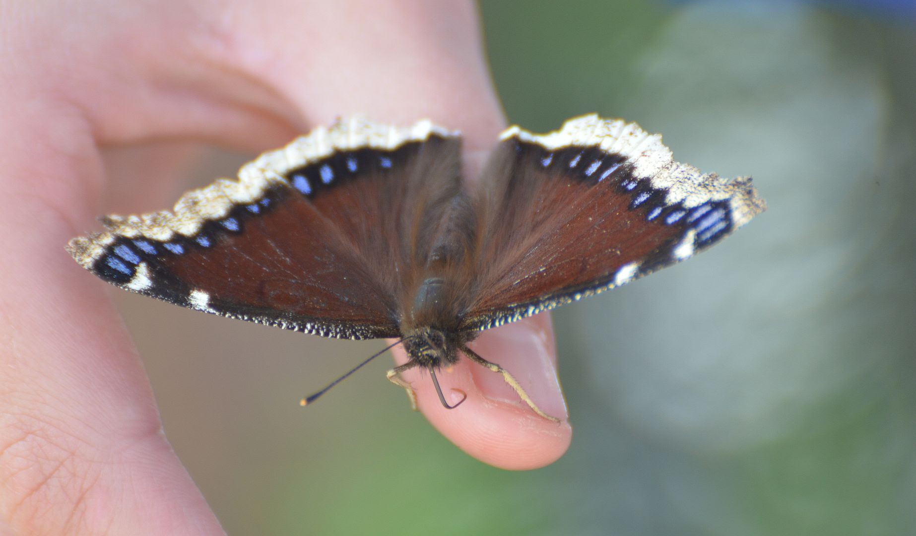 Mourning Cloak; Cascade Canyon, Jackson Hole, Wy; 06/22/11 Pictures, Images and Photos