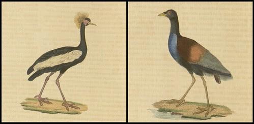 Ardea Pavonina (Grue couronnee) + Psophia crepitans (Agami trompette)
