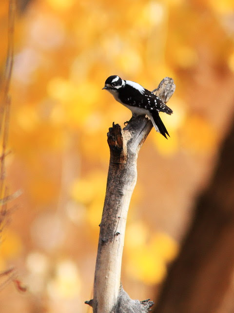 Downy Woodpecker 20131105