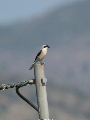 Lesser-grey Shrike