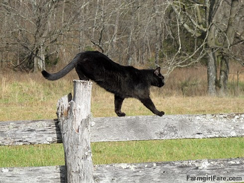 Mr. Midnight on the hayfield fence - FarmgirlFare.com