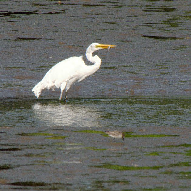 Ed Gaillard: birds &emdash; Great Egret fishing, Spuyten Duyvil Creek, Inwood Hill Park