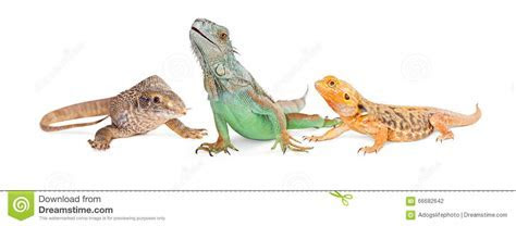 Three Types Of Lizards Vertical Banner Stock Photo   Image: 66682642