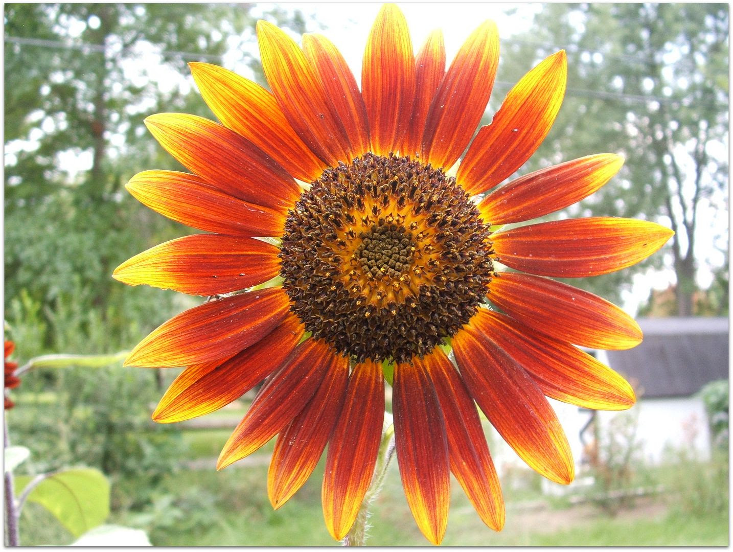 Prado Sunflowers by Angie Ouellette-Tower for godsgrowinggarden.com photo 011_zpsda1213d5.jpg
