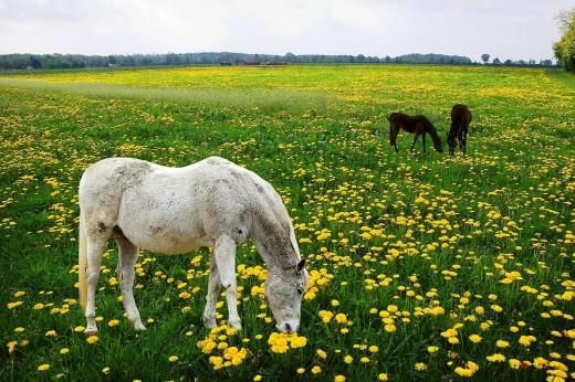 005 Ngựa trên cánh đồng hoa vàng