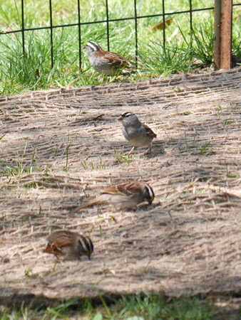 Ed Gaillard: birds &emdash; White-Crowned and White-Throated Sparrows, Central Park