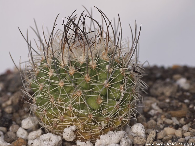 TUrbinicarpus sauerii ssp. nelissae