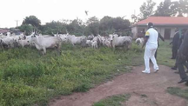 Image result for fayose arrest cow for grazing
