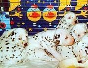 Cuccioli di dalmata (Archivio Corsera)