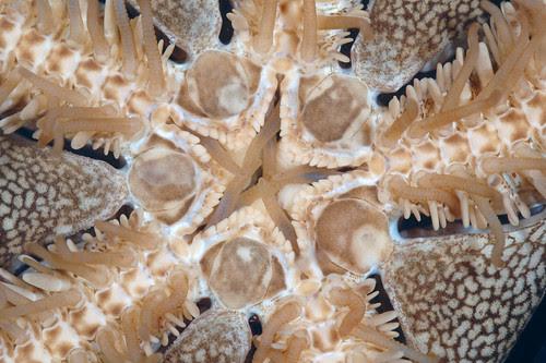 Brittle star oral side