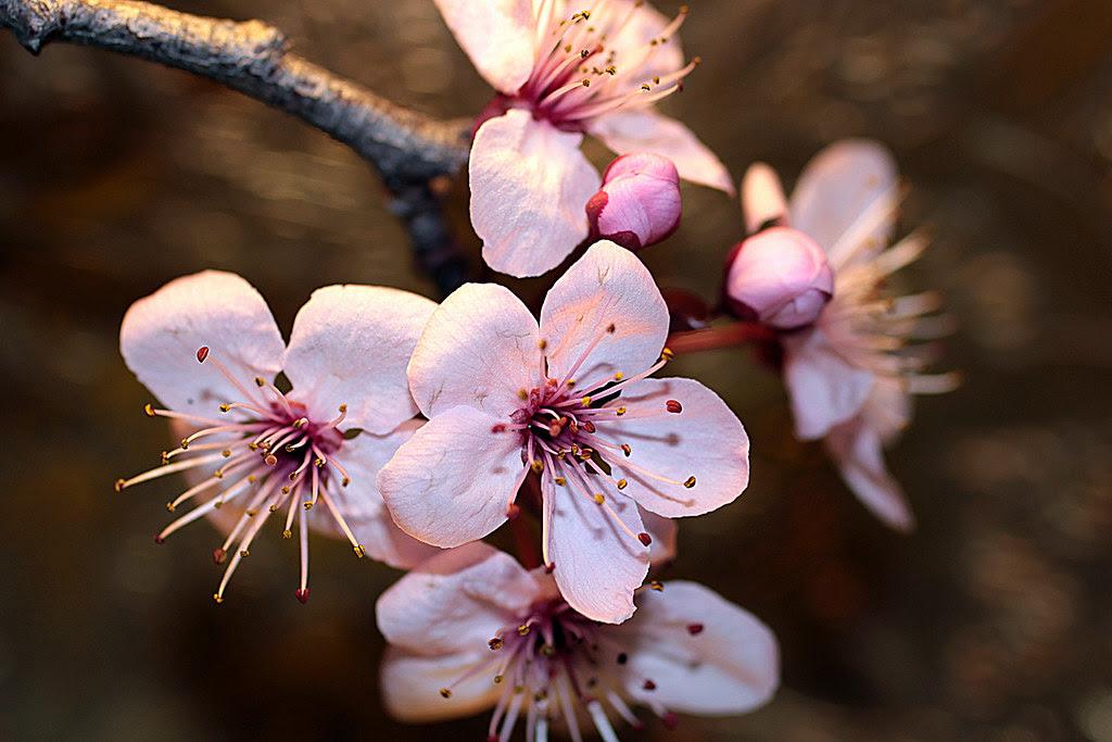 unas flores de ciruelo