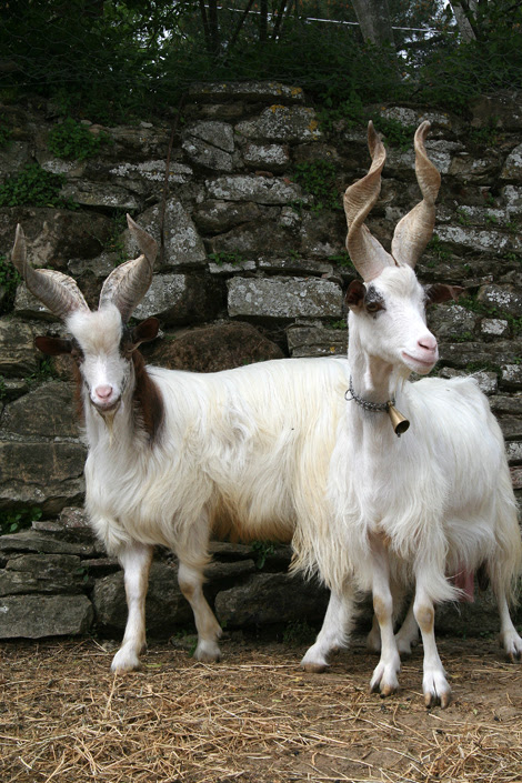 capre 2