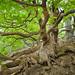 Two oaks with mighty roots - Zwei Eichen mit kräftigen Wurzeln