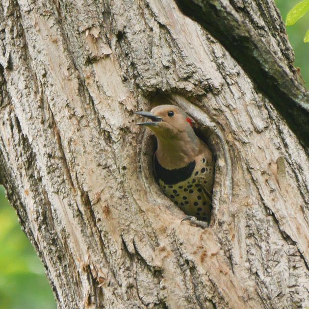Ed Gaillard: birds &emdash; Northern Flicker in nest hole, Central Park