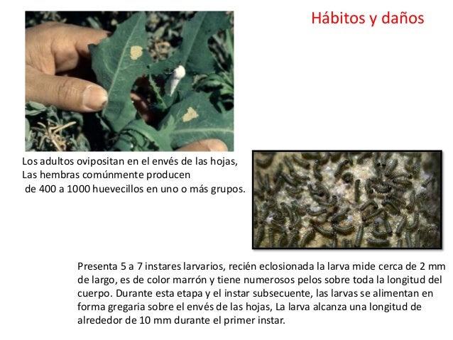 Los daños los causan las larvas. Las larvas jóvenes son gregarias y consumen epidermis de la hoja dando como resultado hoj...
