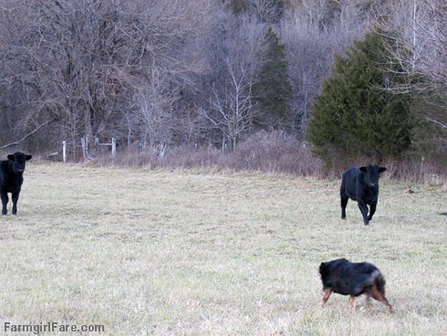 Lucky Buddy Bear, ace cattle dog (1) - FarmgirlFare.com