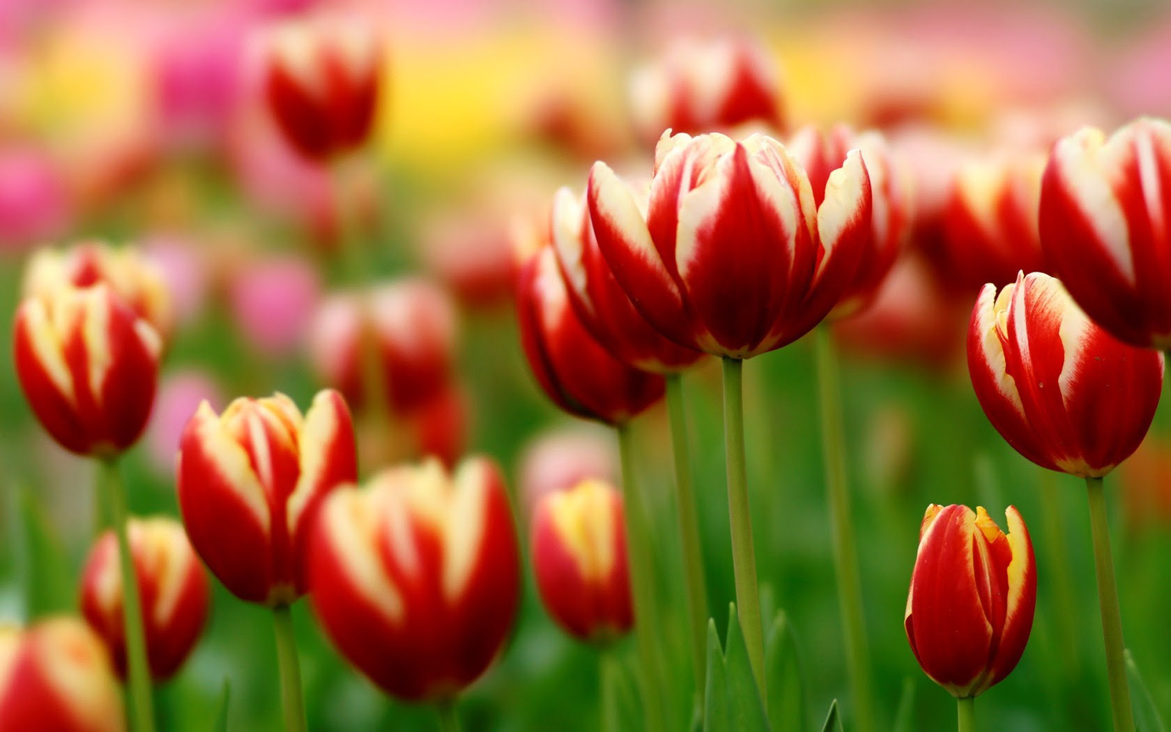 Spring Tulips Wallpaper Desktops Wallpapersafari