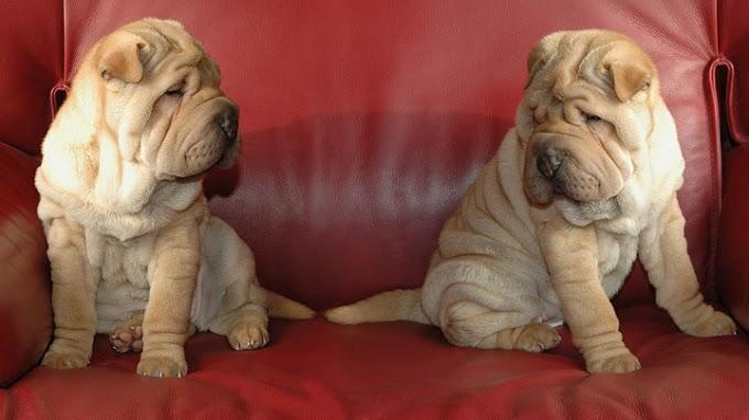 Las mejores razas de perro para compartir el confinamiento por coronavirus