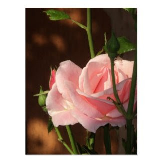 single pink rose in the afternoon postcard