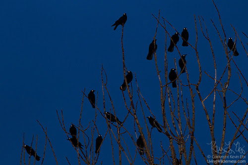 Crows at Roost, Glowing Eyes