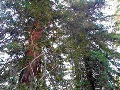 Pine Tree Pals