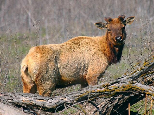 IMG_8466 Tule Elk, San Luis National Wildlife Refuge