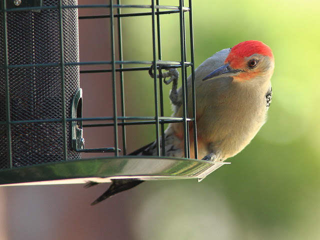 Red-bellied Woodpecker 20130310