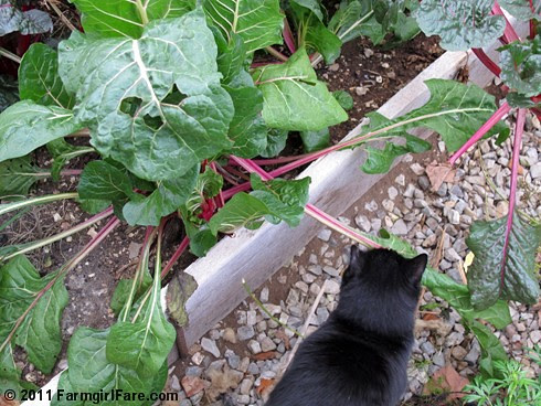 Mr. Midnight in the Swiss chard filled greenhouse - FarmgirlFare.com