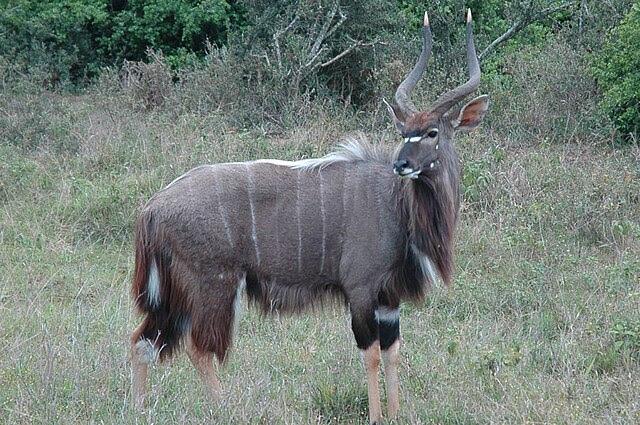 male nayala
