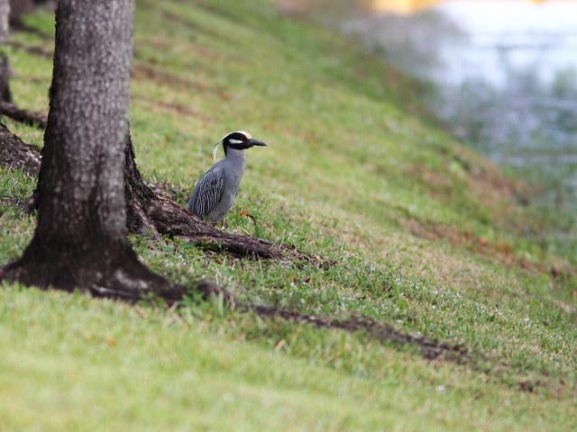 Yellow-crowned Night-Heron male 20140307
