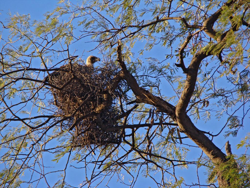 DSC08429 White-backed Vulture nest