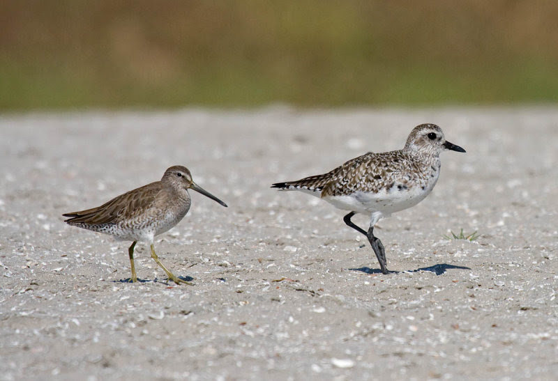 Short-billed Dowitcher and Black-bellied Plover