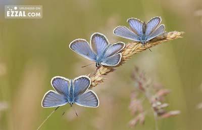butterfly in the row Gambar Rama Rama yang Sangat Cantik dan Menakjubkan