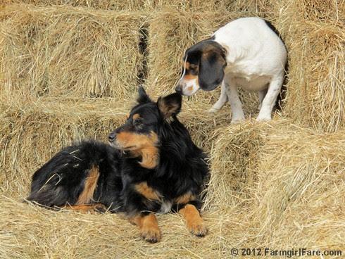 Bored beagle and stoic stock dog 1 - FarmgirlFare.com