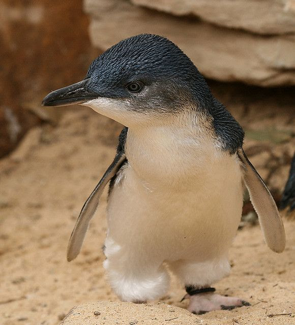 Fairy Penguin is one of the cutest Australian birds, also know as the Little Blue Penguin!